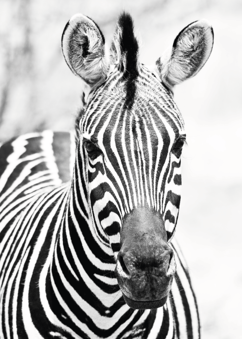 Zebra nr. 2 - plakat