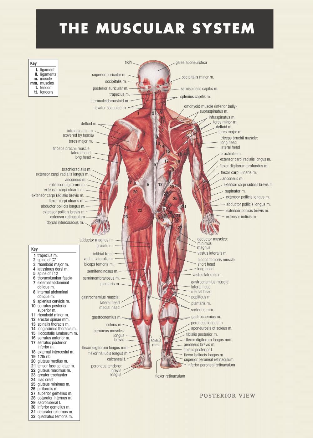 Billede af Muskel plakat - Anatomi plakat
