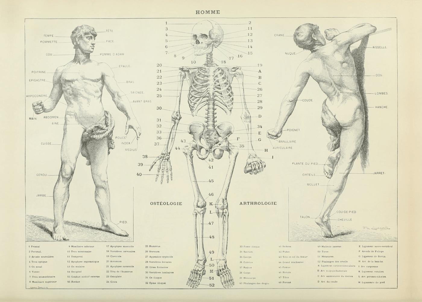 Billede af Fysiologi - Anatomi plakat