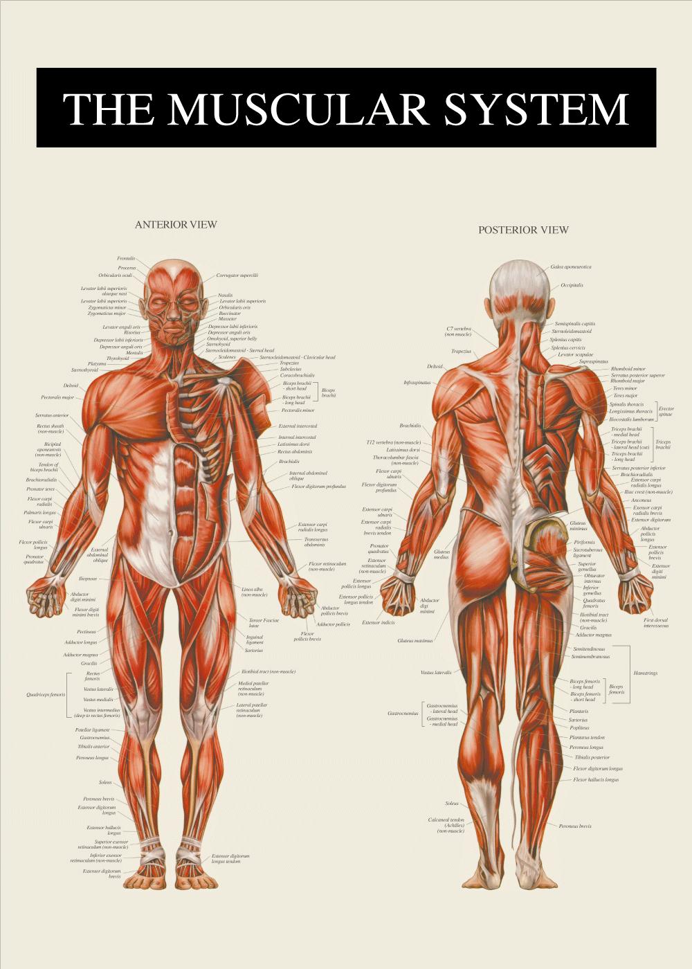 Muskler i ben, arme, skulder, kropsstamme