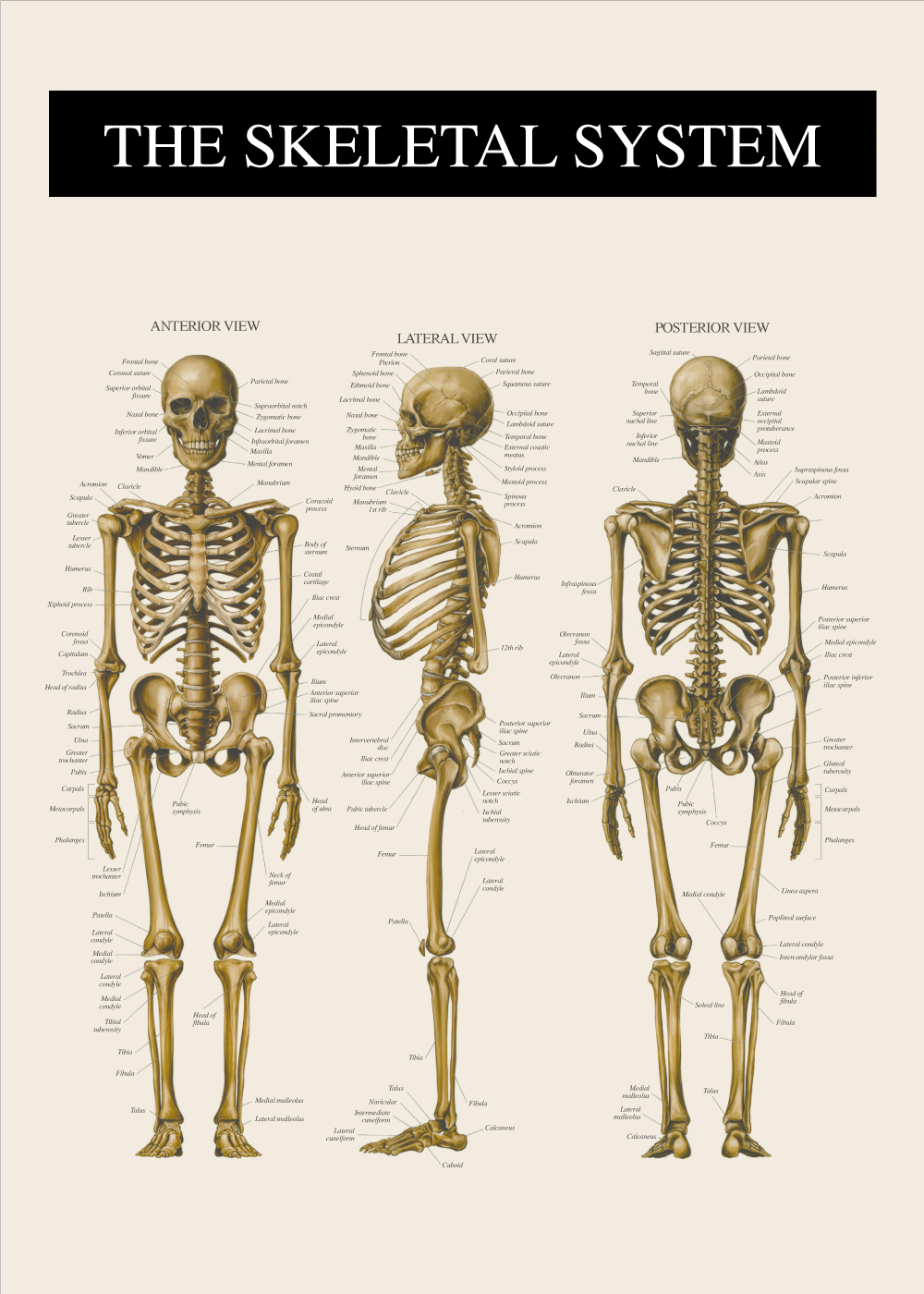 Billede af Skelettet - Anatomi plakat