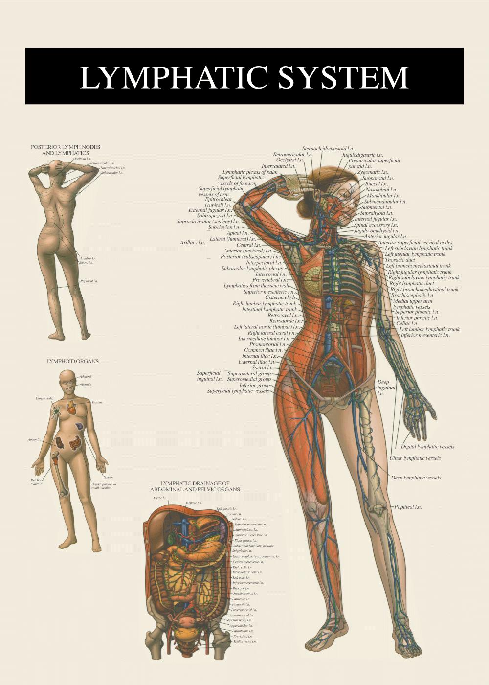 Billede af Lymfesystemet - Anatomi plakat