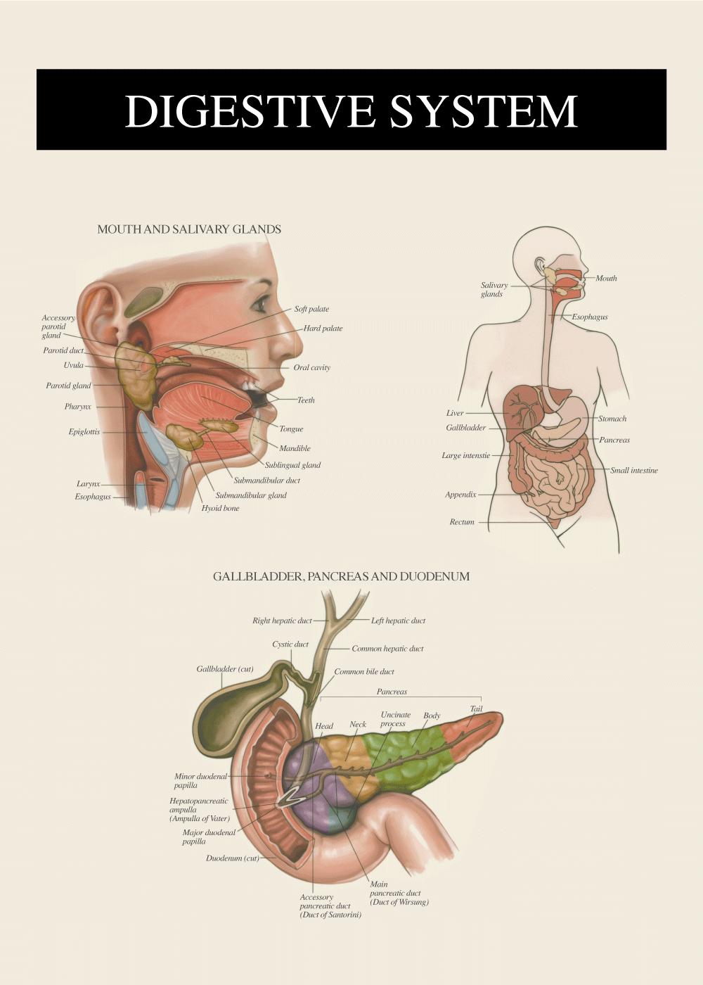 Billede af Fordøjelsessystemet 2 - Anatomi plakat