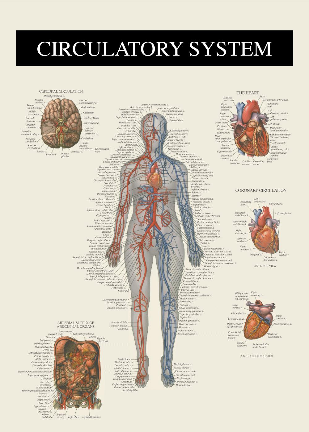 Billede af Blodkredsløbet - Anatomi plakat