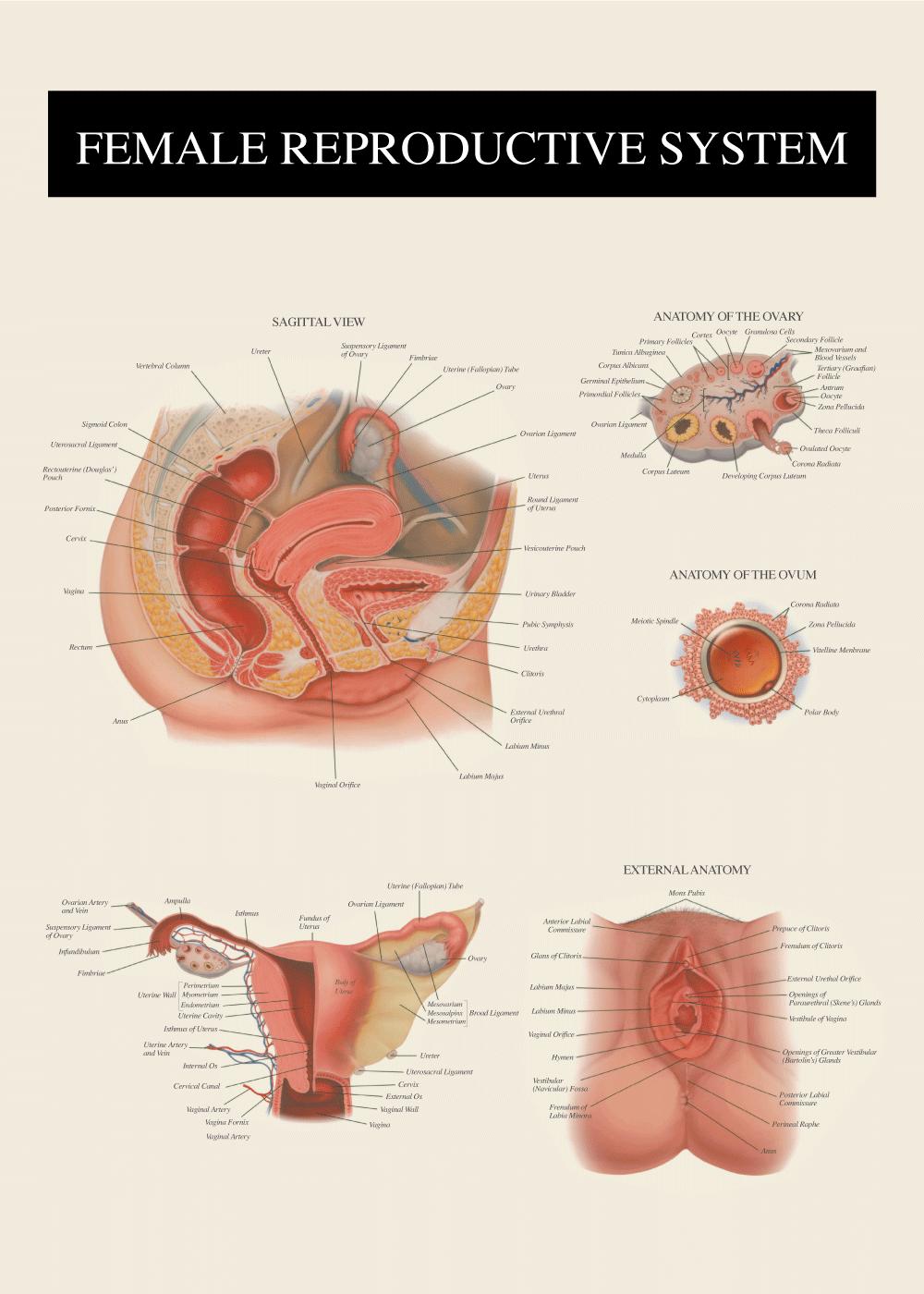 Billede af Kvindens anatomi - Anatomi plakat