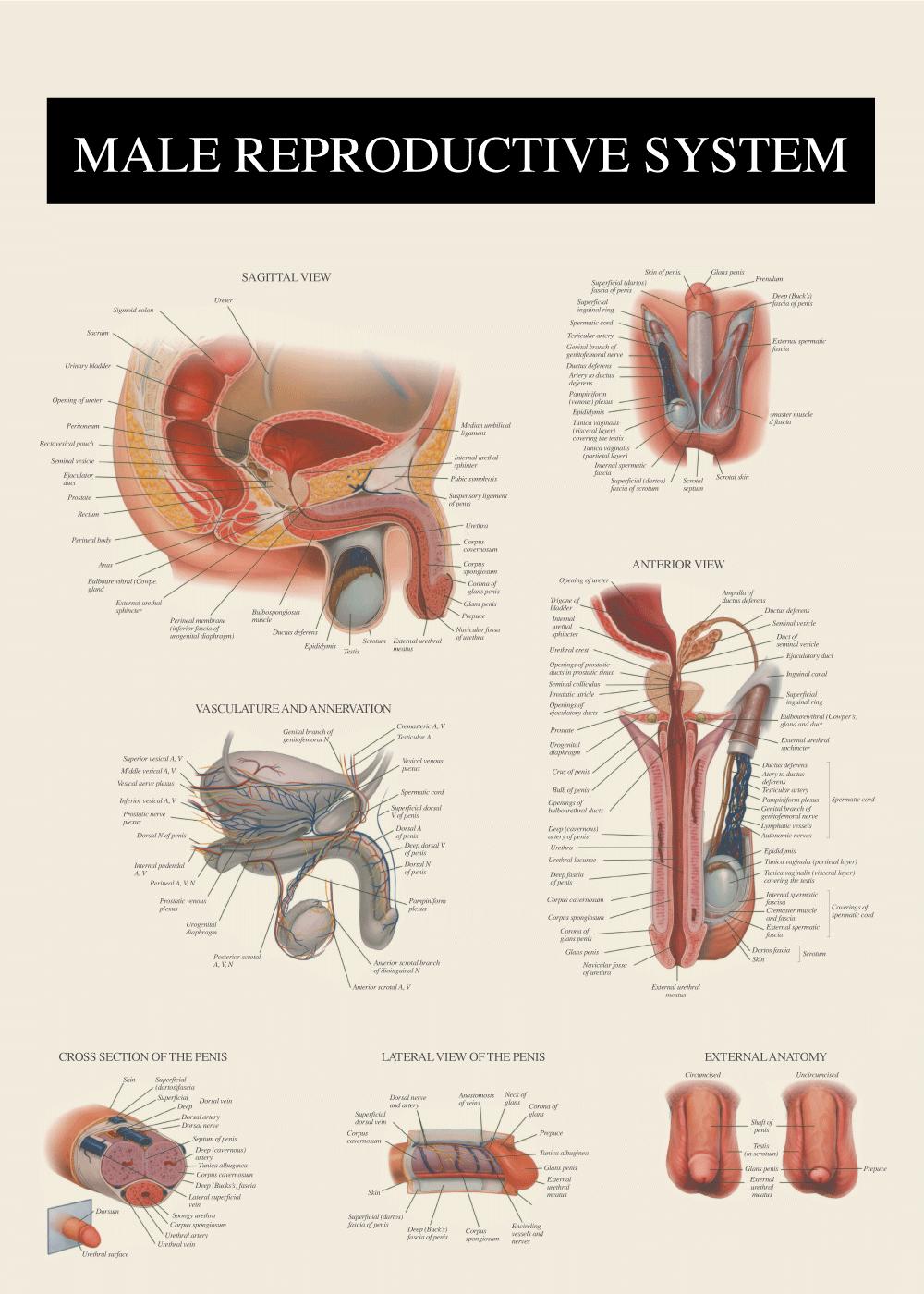 Billede af Mandens anatomi - Anatomi plakat