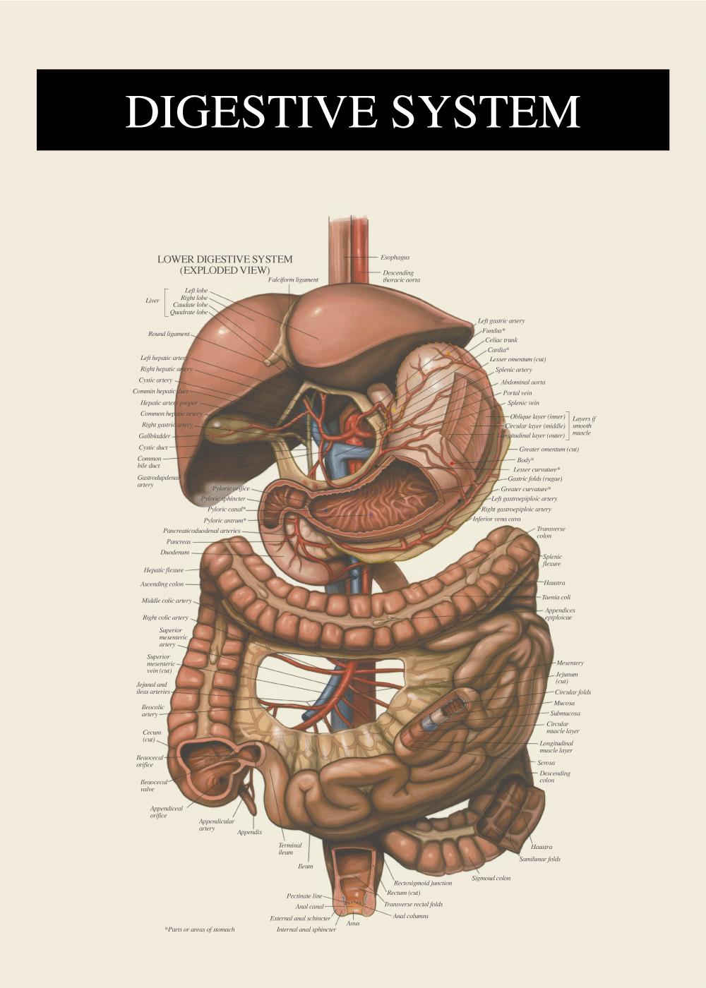 Billede af Fordøjelsessystemet - Anatomi plakat