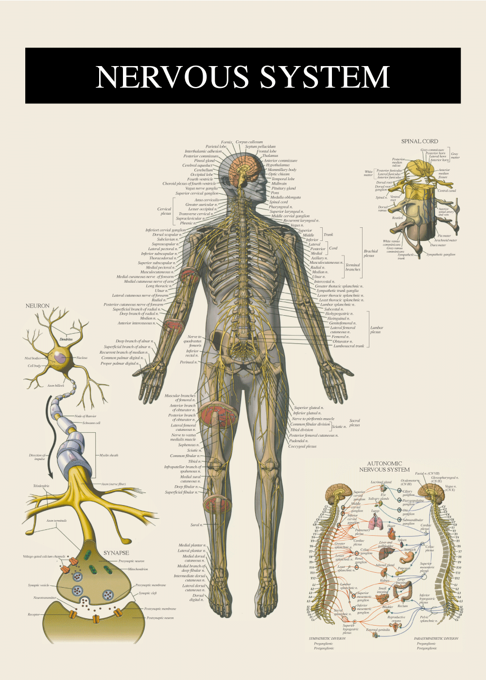 Billede af Nervesystemet - Anatomi plakat