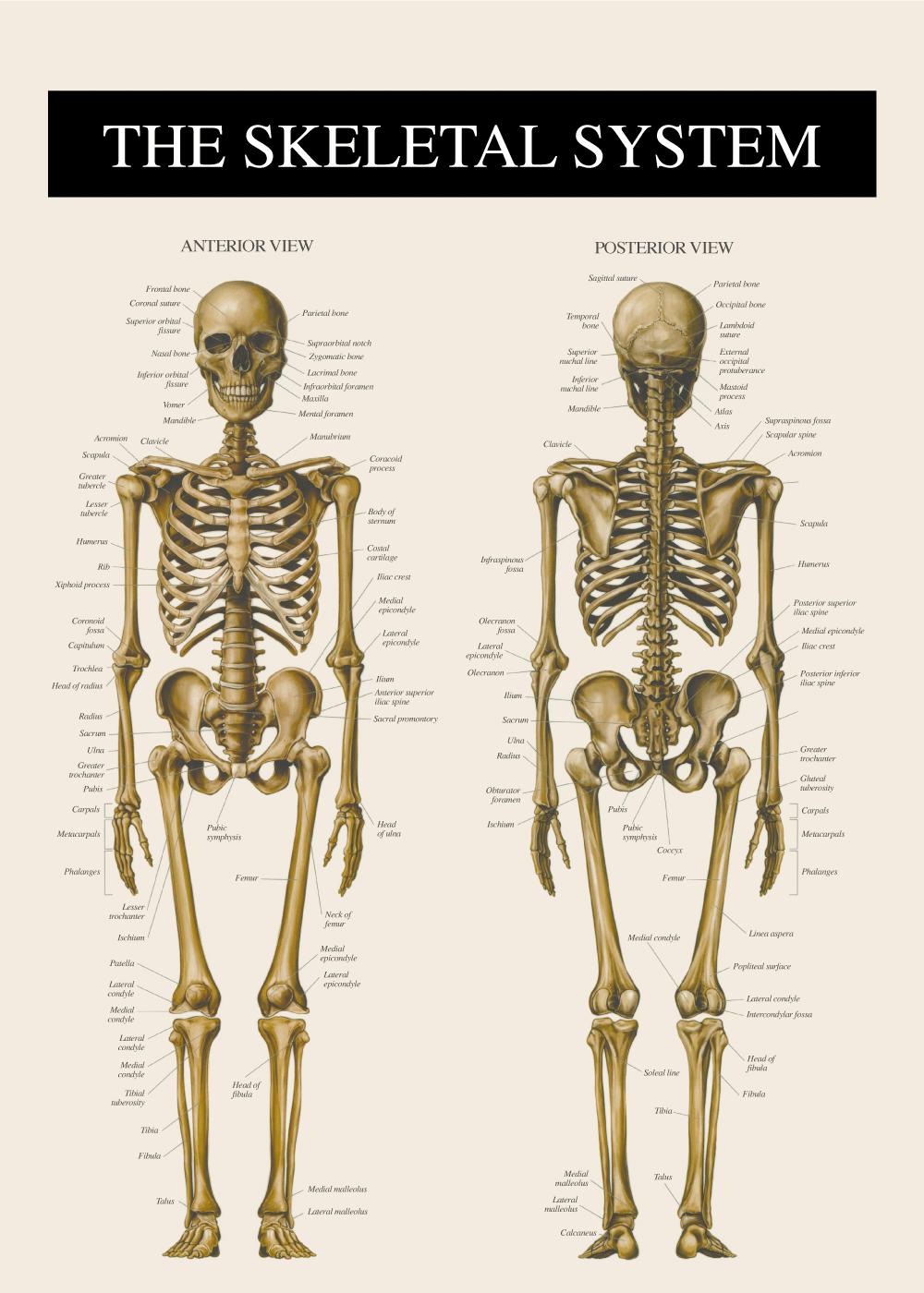 Billede af Skelettet 2 - Anatomi plakat