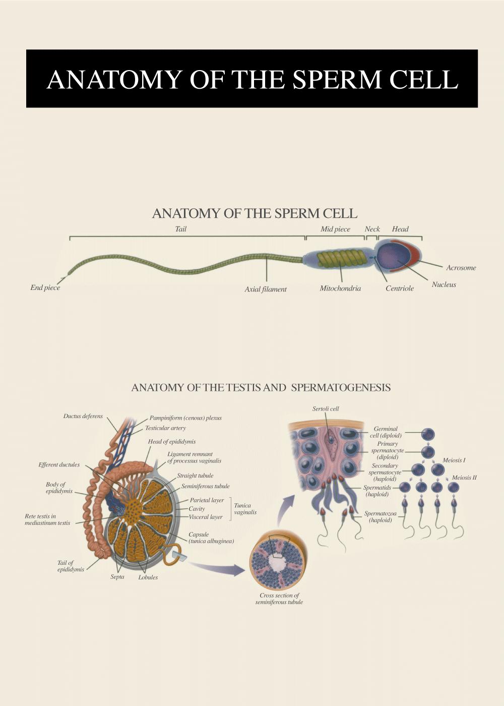 Billede af Sædcellens anatomi - Anatomi plakat