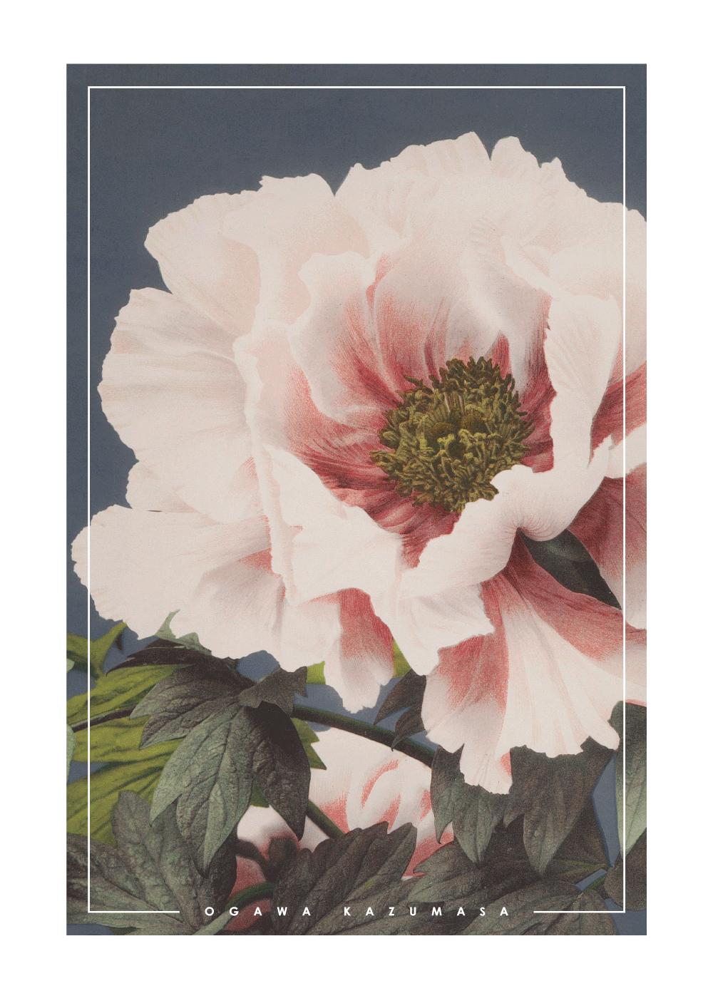 Vintage peony - Japansk fotokunst plakat