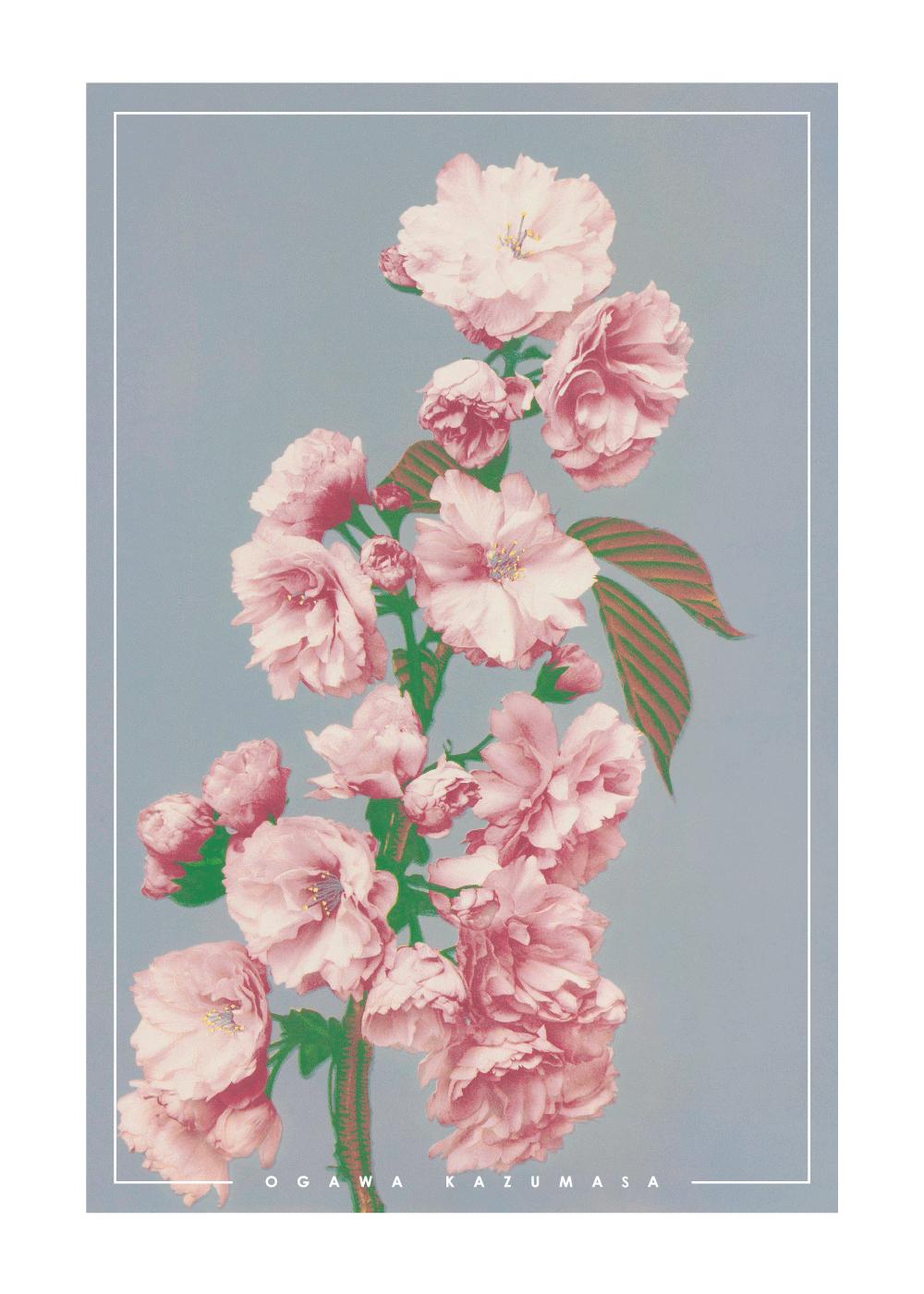 Billede af Cherry blossom - Japansk fotokunst plakat